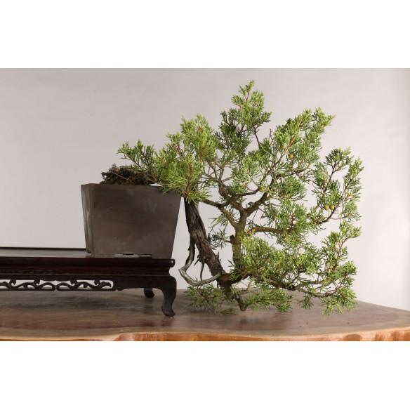 Juniperus phoenicia - B1021