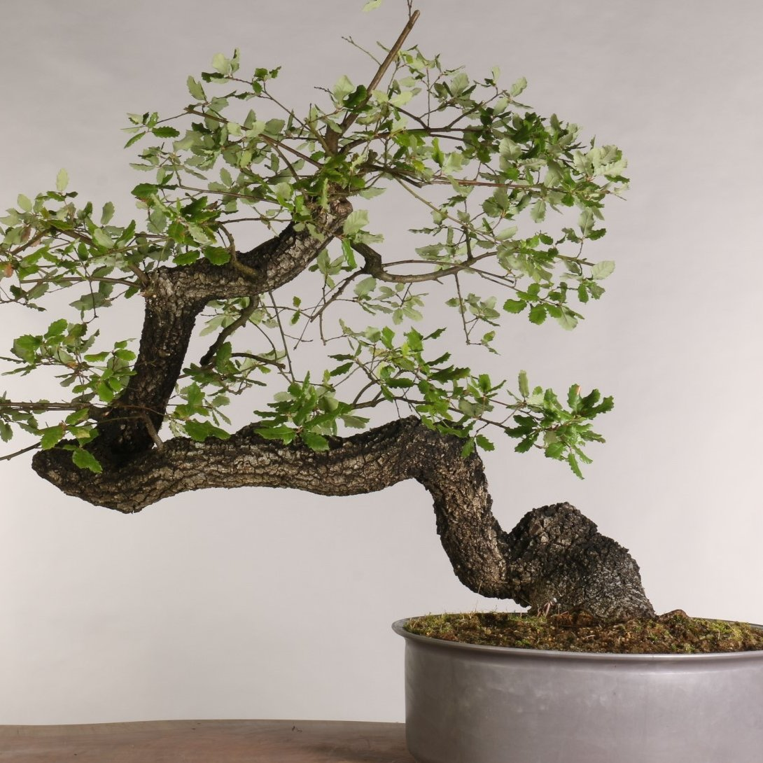 Quercus faginea - B1022