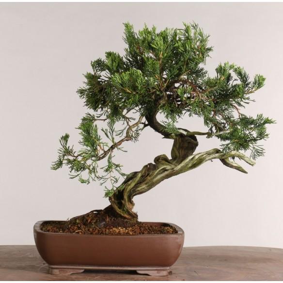 Juniperus sabina - B1025