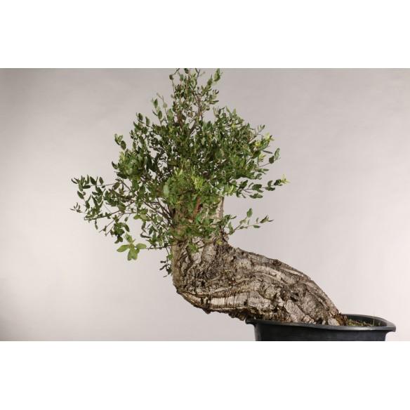 Quercus suber - B1028