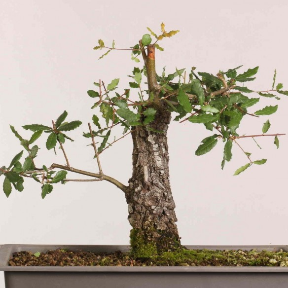 Quercus faginea - B1035