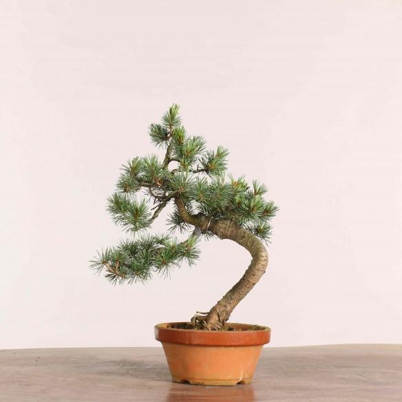 Pinus parviflora - B1043