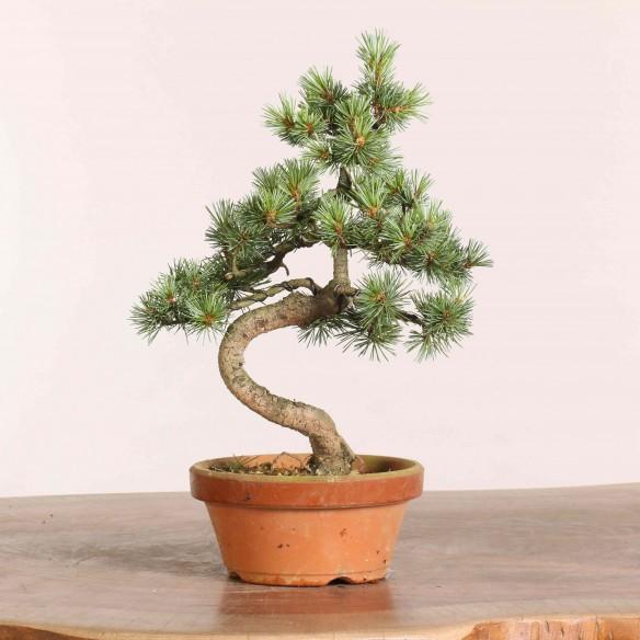 Pinus parviflora - B1048