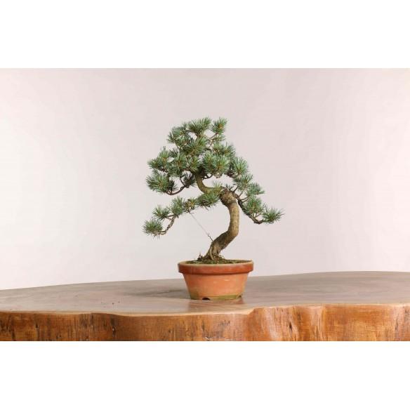 Pinus parviflora - B1052
