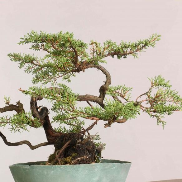 Juniperus phoenicia - B1054