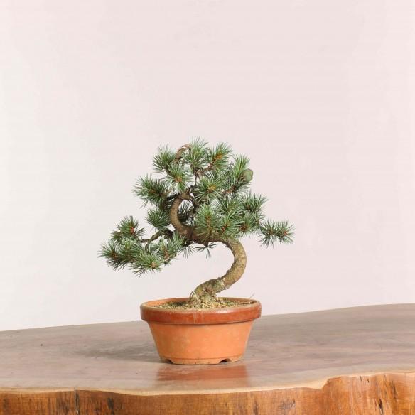 Pinus parviflora - B1061