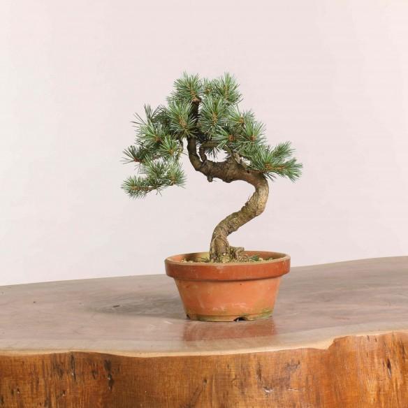 Pinus parviflora - B1064