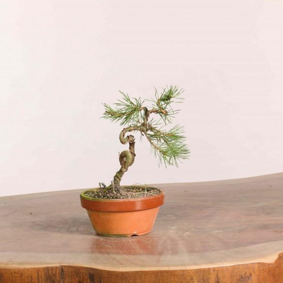 Pinus sylvestris - B1066