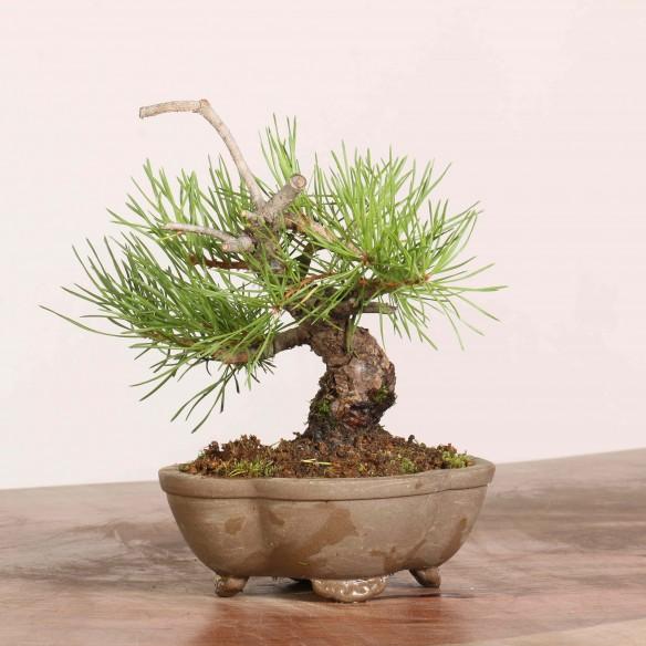 Pinus sylvestris - B1069