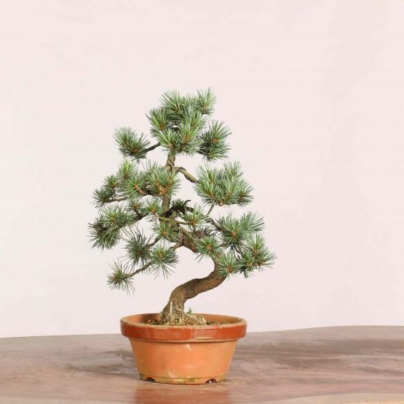 Pinus parviflora - B1073