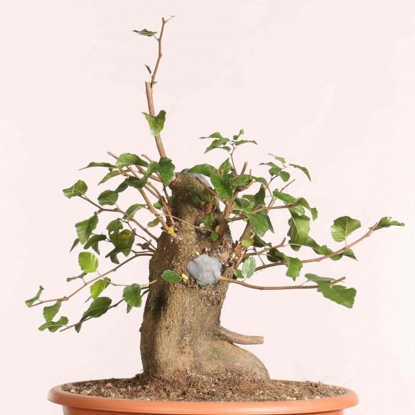 Carpinus turczaninowii - B1075