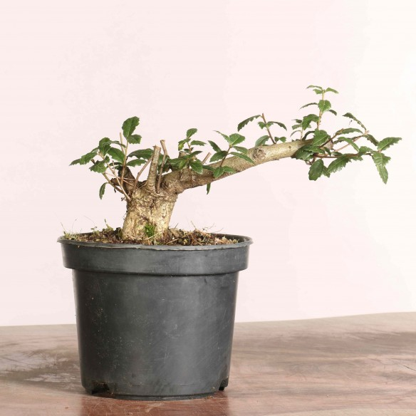 Quercus faginea - B1076
