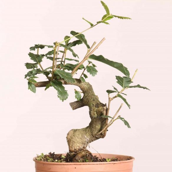 Quercus faginea - B1078