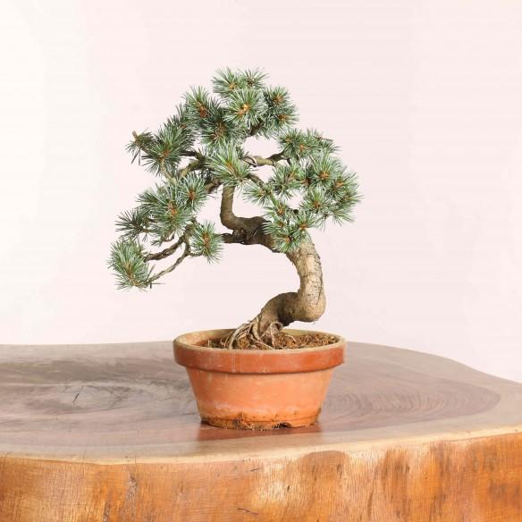 Pinus parviflora - B1080