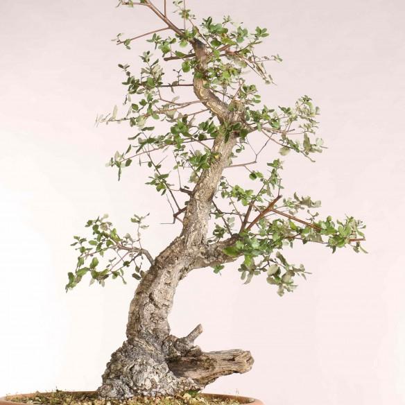 Quercus suber - B1085