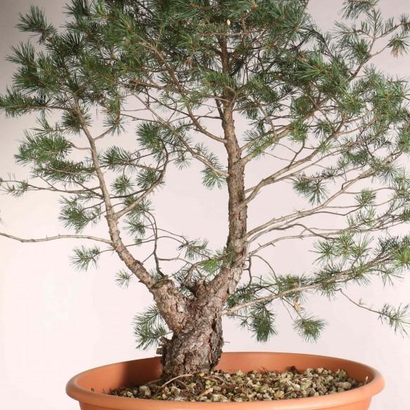 Pinus sylvestris - B1087