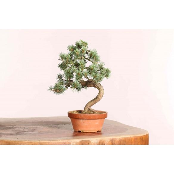Pinus parviflora - B1088
