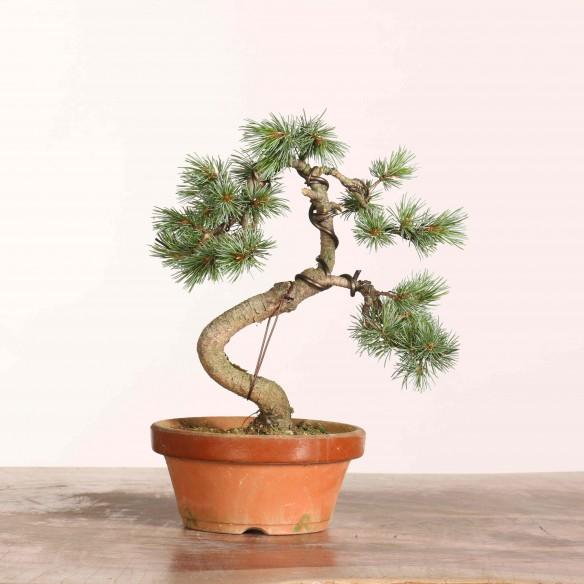 Pinus parviflora - B1089