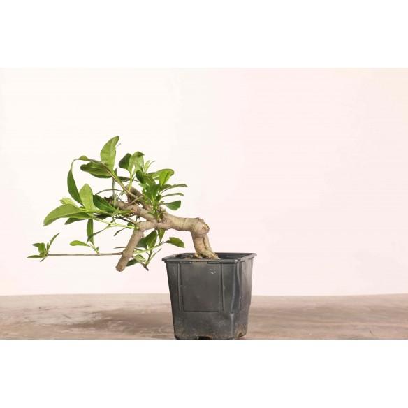 Gardenia jasminoides - B1095