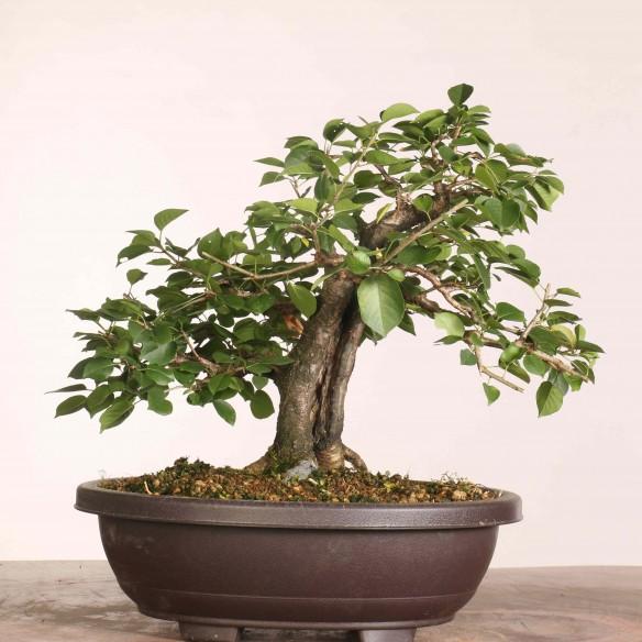 Prunus mahaleb - B1099