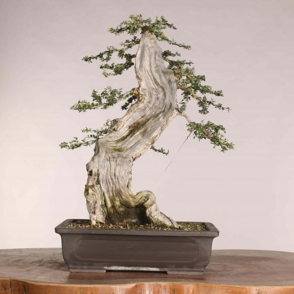 Wild Olive 'Ullastre' - B1107