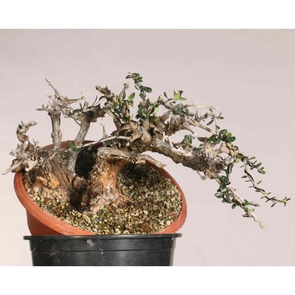 Wild olive - B1109
