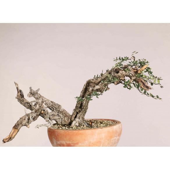 Wild Olive - B1112