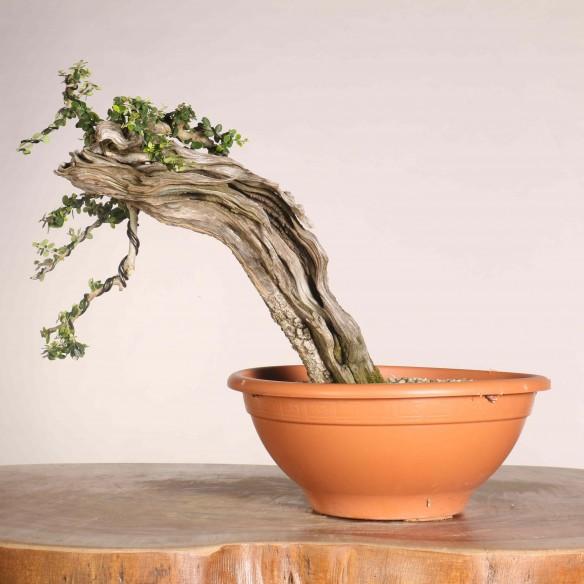 Wild Olive 'Ullastre' - B1115