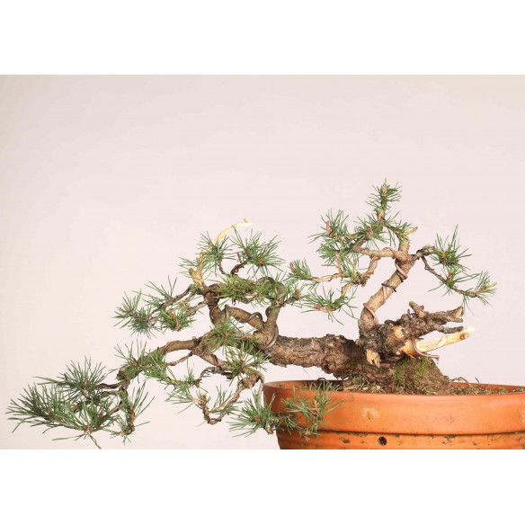 Pinus sylvestris - B1118