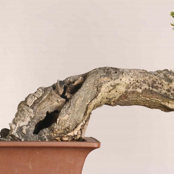 Quercus suber - B1119