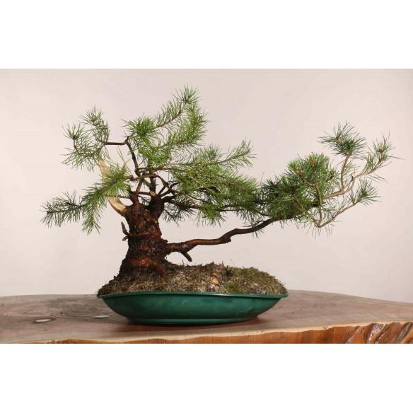 Pinus sylvestris - B1124
