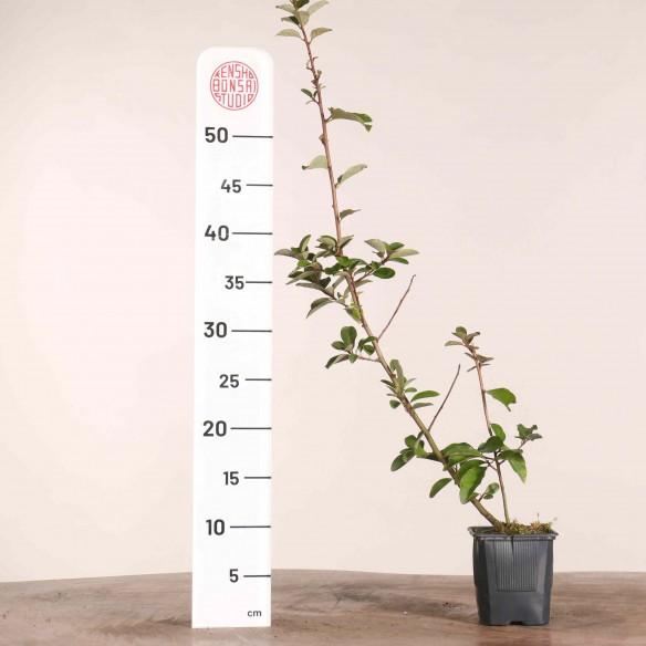 Elaeagnus multiflora