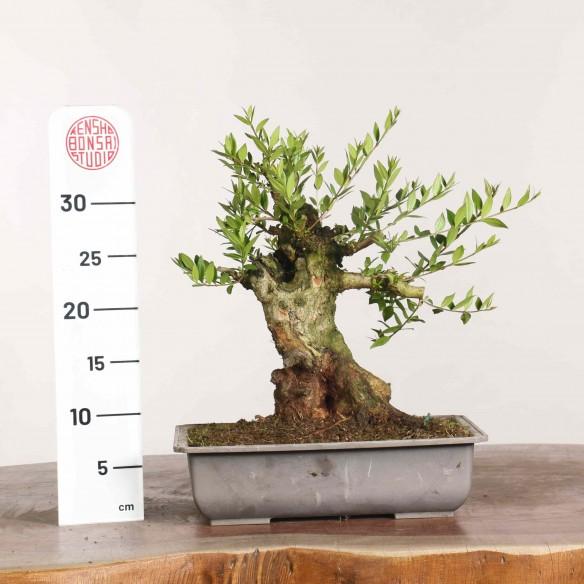 Myrtus communis - B1133