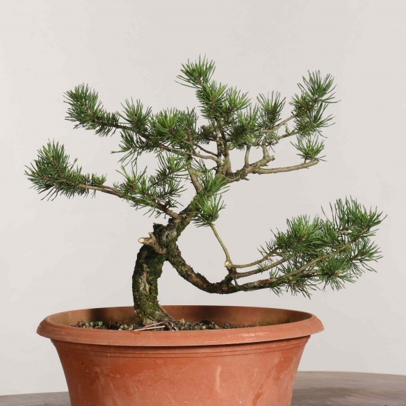 Pinus sylvestris - B1141