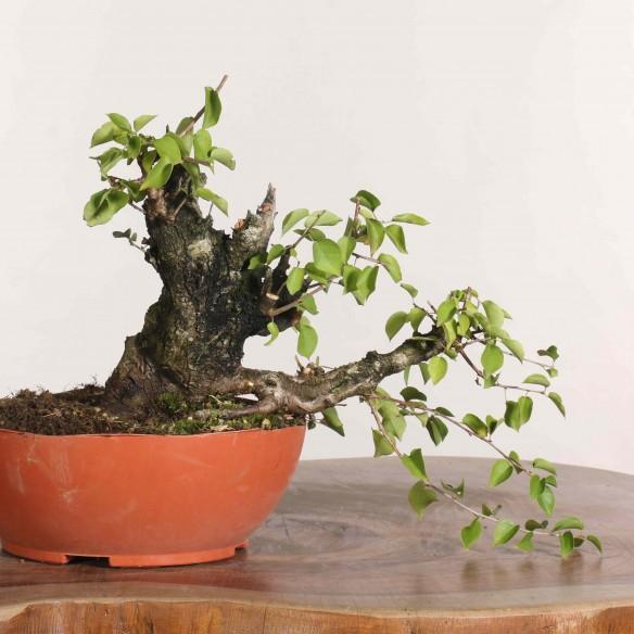 Prunus mahaleb - B1144