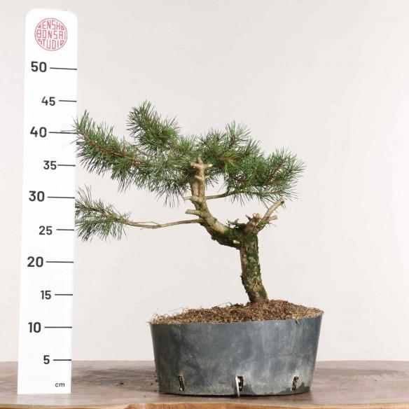 Pinus sylvestris - B1148