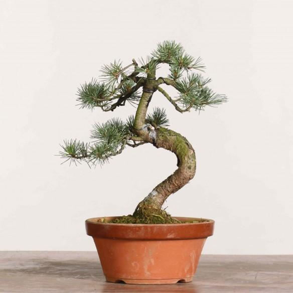 Pinus parviflora - B1150