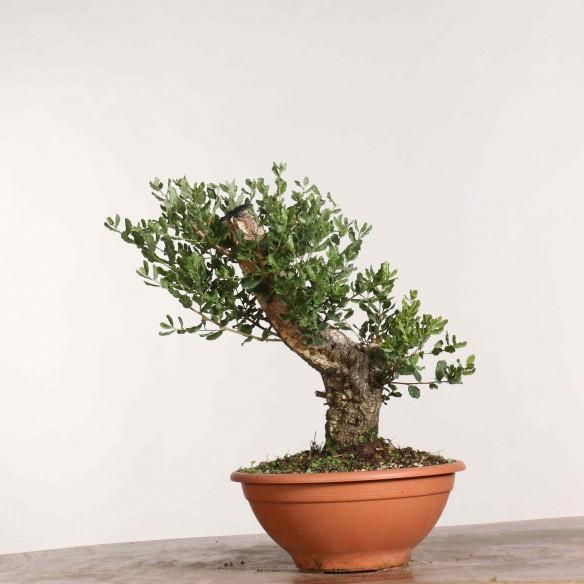 Quercus suber - B1160