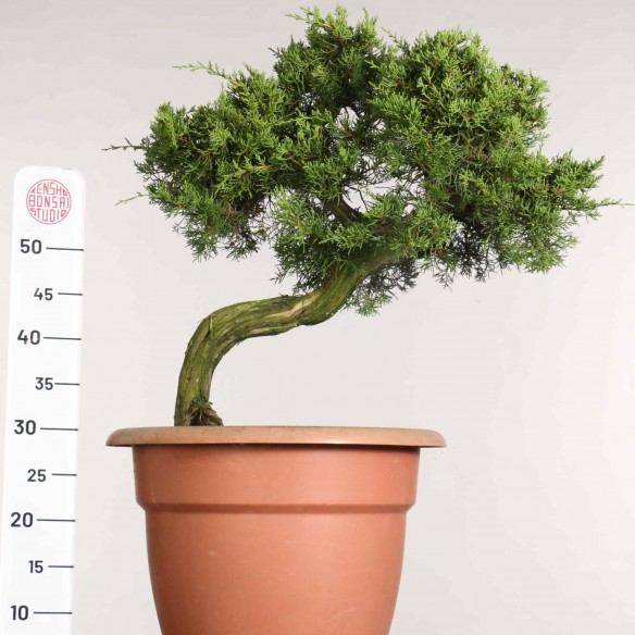 Juniperus phoenicia - B1163