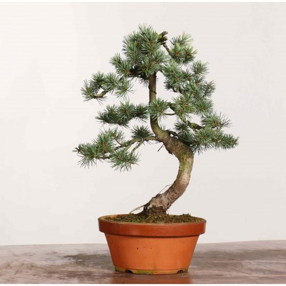 Pinus parviflora - B1174