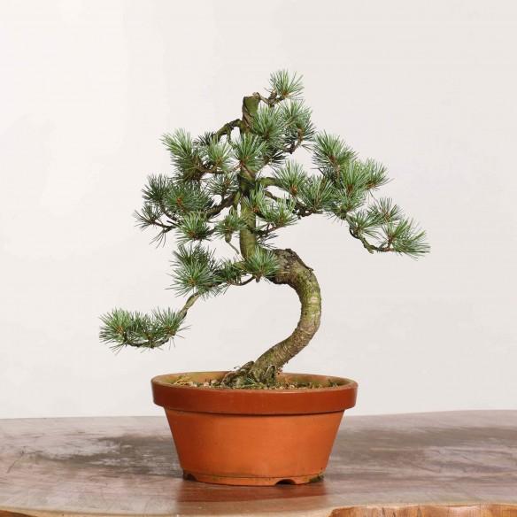 Pinus parviflora - B1175