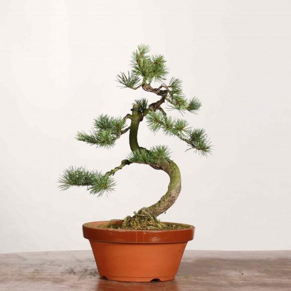 Pinus parviflora - B1176