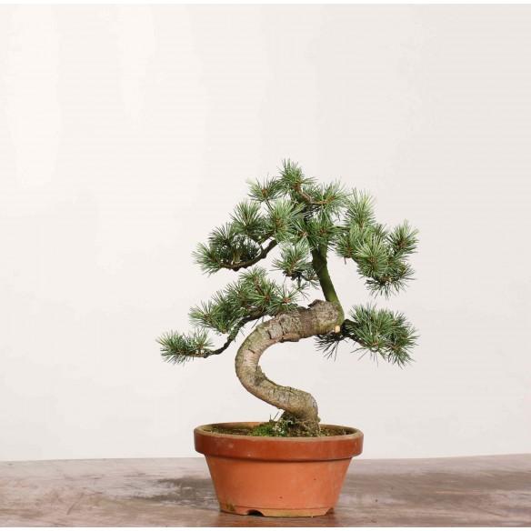 Pinus parviflora - B1178