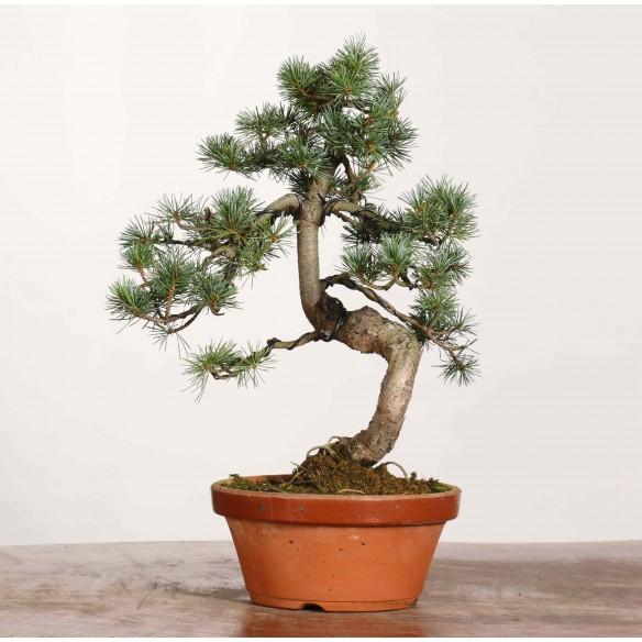 Pinus parviflora - B1179