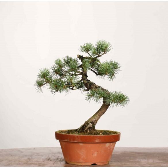 Pinus parviflora - B1180
