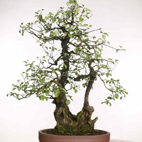 Prunus mahaleb - B1182