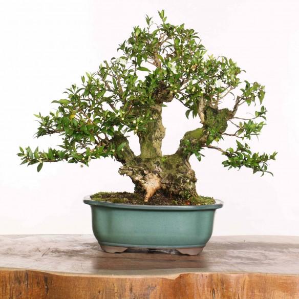 Myrtus communis - B1183