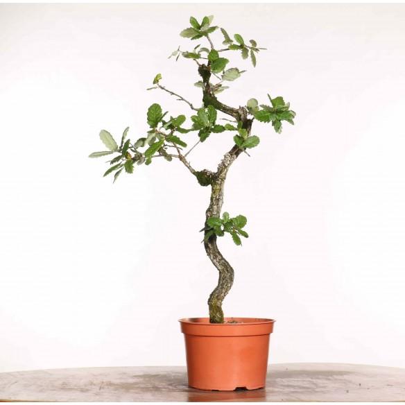 Quercus faginea - B1186