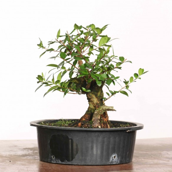 Myrtus communis - B1187