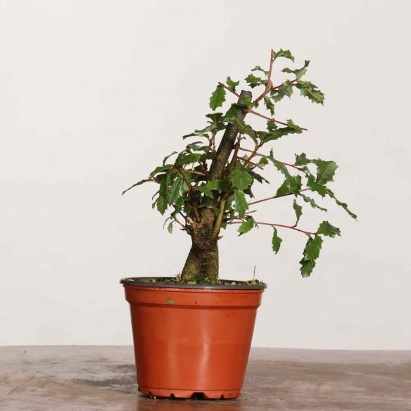 Quercus faginea - B1191